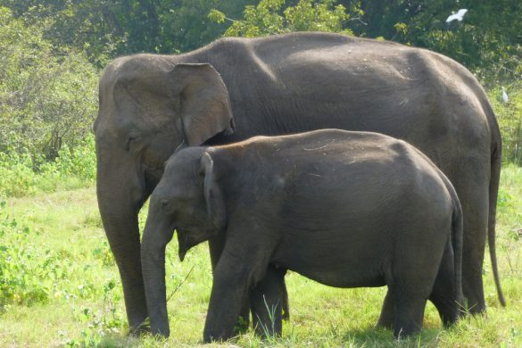 Sri-Lanka J2 (2/2) : Sigiriya (parc de Minneriya, …)